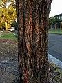 Eucalyptus tricarpa - trunk bark.jpg