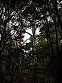 Eucalyptus viminalis Labill. (AM AK300701-2).jpg