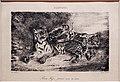 Eugène delacroix, giovane tigre che gioca con la madre, da l'artista, 1831, litografia.jpg