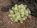Euphorbia balsamifera (Los Cancajos) 01.jpg