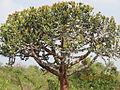 Euphorbia barnhartii 001 by Lalithamba.jpg