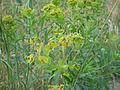 Euphorbia esula (5190430845).jpg