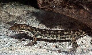 Sardinian brook salamander species of amphibian