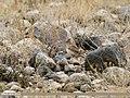 Eurasian Skylark (Alauda arvensis) (41285686780).jpg