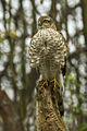Eurasian Sparrowhawk juv - Kisjuszallas - Hungary MG 2467 (15239629123).jpg