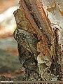 Eurasian Treecreeper (Certhia familiaris) (15277257693).jpg