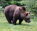 Europaeischer Braunbaer Ursus arctos arctos Tierpark Hellabrunn-5.jpg