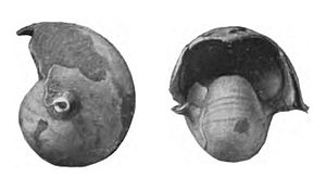 Eutrephoceras - Eutrephoceras dekayi from the Coon Creek Formation