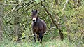 Exmoor in the forest looking at me.jpg