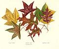 FMIB 41312 Tulip Tree.jpeg