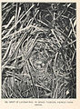 FMIB 43335 Nest of Laysan Rail, in grass tussock, viewed from above.jpeg
