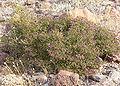 Fagonia laevis 2.jpg