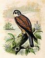 Falco tinnunculus 1873.jpg