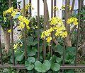 Farfugium japonicum2.jpg