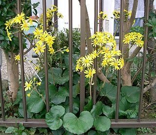 <i>Farfugium</i> Genus of flowering plants