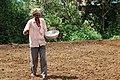 Farmer sowing rice in Western Ghat Maharashtra.jpg