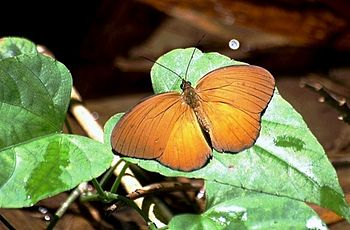 This butterfly's photo was taken in Lombok Isl...