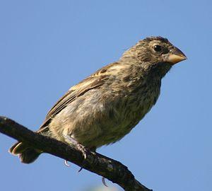 Medium ground finch - Female