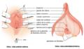 Female genitalia - Figure 28 02 02-es.png