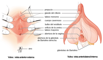 Female genitalia - Figure 28 02 02-es.png