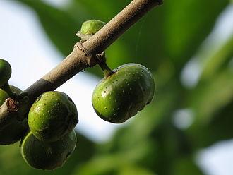 Ficus racemosa - Image: Ficus racemosa