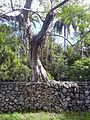Ficus aurea02.jpg