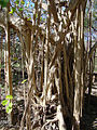 Ficus cotinifolia (11362279505).jpg