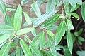 Ficus racemosa 8zz.jpg