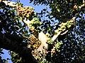Ficus racemosa Chikmagalur.jpg