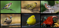 Finches-شراشير.png