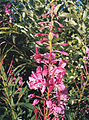 Fireweed flowers (3283299468).jpg