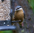 First Nuthatch (8148229153).jpg