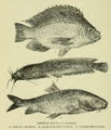 Fishes of the Sea of Galilee Tristram Natural History.png
