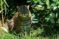 Fishing Cat (120780371).jpeg