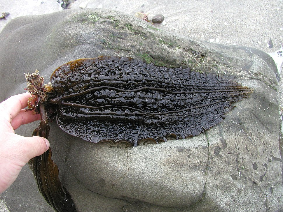 Five-ribbed kelp (Costaria costata)