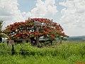 Flamboyant ou flamboiaiã (Denonix regia) na rodovia Washington Luís - SP-310, perto do pedágio de Agulha - panoramio.jpg