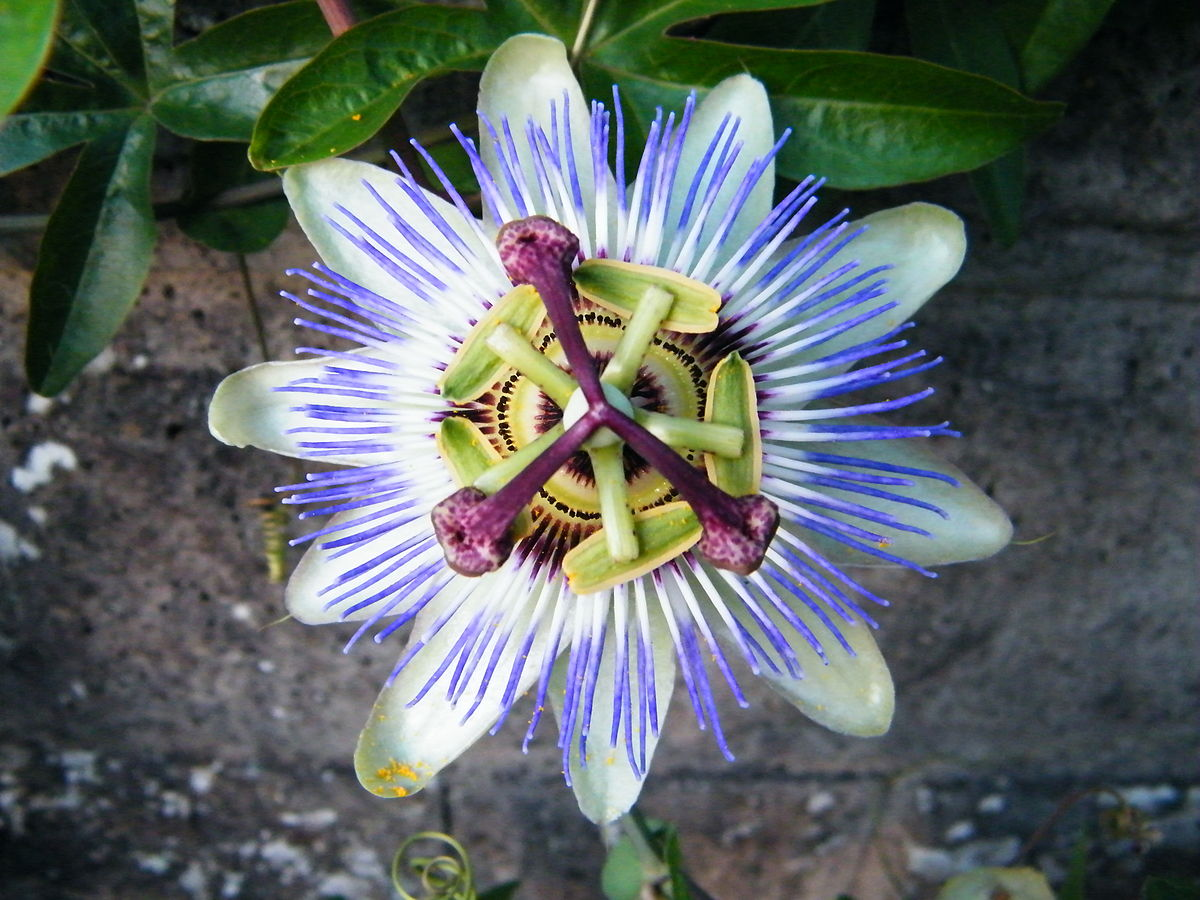 Passiflora caerulea wikipedia for Fleurs de jardin photos