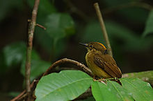 Flickr - Rainbirder - Northern Royal Flycatcher (Onychorhynchus mexicanus).jpg