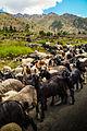 Flock of Goats at Chillum Valley.jpg