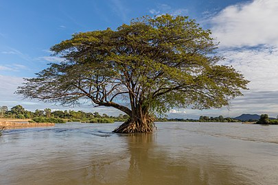 Flooded Albizia Saman (rain tree) in the Mekong.jpg