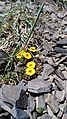 Flora of the trail to Arenalles, Vallecitos, Cordón del Plata, Andes 2.jpg