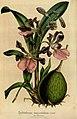 Flore des serres et des jardins de l'Europe - vol. 04 - page 372.jpg