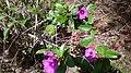 Flores de uma Planta encontrada na Mata Cipó Derivação da Mata Atlântica-Ba.jpg