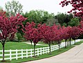 Flowering trees ^ white fence - Flickr - rkramer62.jpg