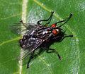 Fly (3452950432).jpg