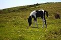Foal, Dartmoor (3585092081).jpg