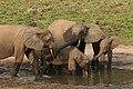 Forest elephant group 1 (6841415460).jpg