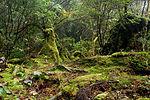 Forest in Yakushima 51.jpg