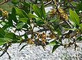Forestiera pubescens 8.jpg
