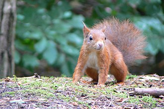 Formby - Image: Formby squirrel